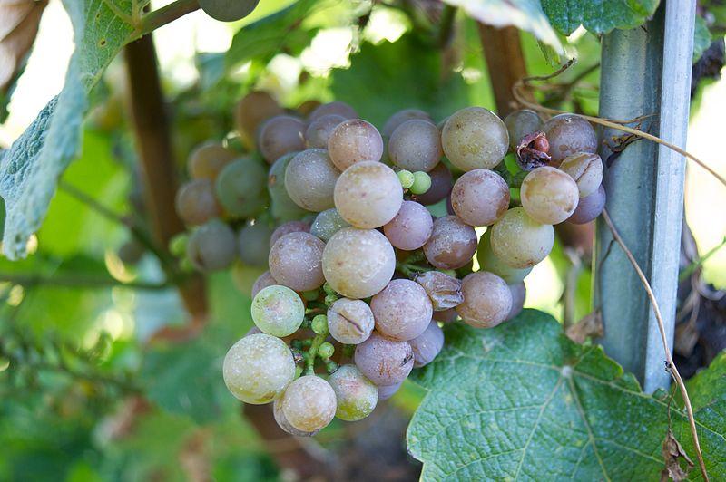 Quelles sont les principales différences entre le vin rouge, blanc et rosé ?