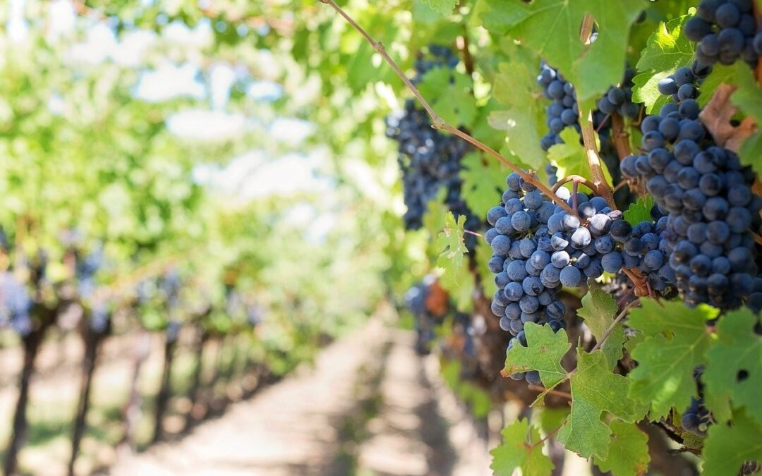 Comment découvrir la Corse à travers ses vins?